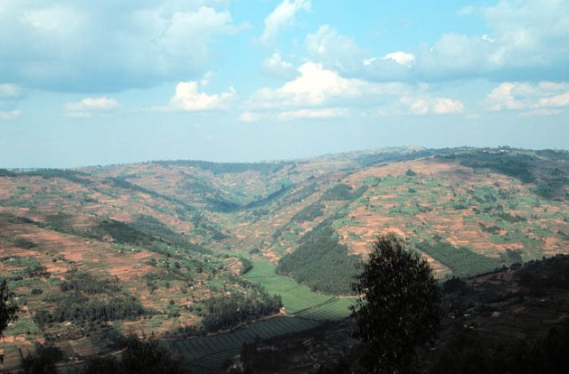 Tea Plantation near Byumba